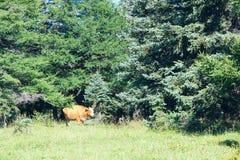 Vache dans la forêt Photographie stock