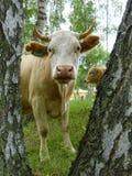 Vache dans la forêt de bouleau Photos stock