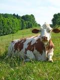 Vache dans le domaine images stock