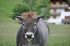 Vache dans le domaine Photographie stock