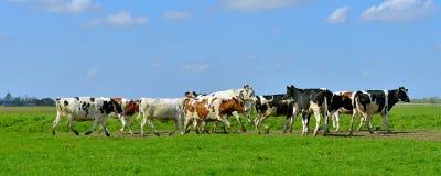 Vache dans le domaine photos libres de droits