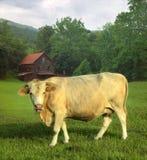 Vache dans le domaine Photographie stock libre de droits