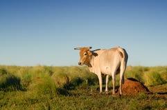 Vache dans le domaine Images libres de droits