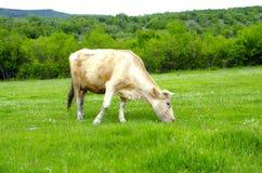 Vache dans le domaine au-dessus des montagnes Photographie stock libre de droits