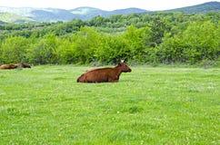 Vache dans le domaine au-dessus des montagnes Photos stock