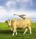 Vache dans le domaine avec l'oie Images stock