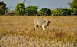 Vache dans le domaine jaune Photos stock