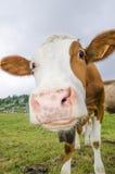 Vache dans le domaine vert Images stock