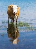 Vache dans le lac Image libre de droits
