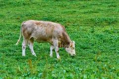 Vache dans le pâturage Photos libres de droits