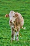 Vache dans le pâturage Image libre de droits