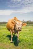 Vache dans le pâturage Paysage rural paisible Photo libre de droits