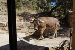 Vache dans le patio Photographie stock