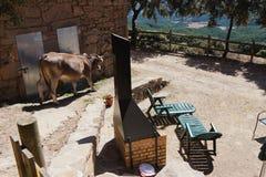 Vache dans le patio Photographie stock libre de droits