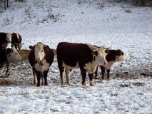Vache dans le paysage de neige Photo stock