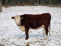 Vache dans le paysage de neige Photos stock