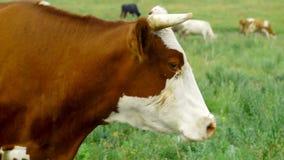 Vache dans le pré banque de vidéos