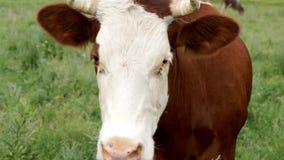 Vache dans le pré clips vidéos