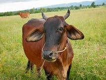 Vache dans le pré Photographie stock libre de droits