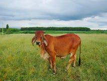 Vache dans le pré Photo stock