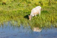 Vache dans le pré Image stock