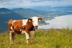 Vache dans les Alpes image libre de droits