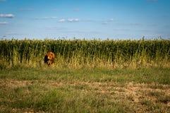 Vache dans les domaines de maïs Photographie stock