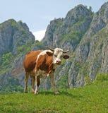 Vache dans les montagnes Photo libre de droits