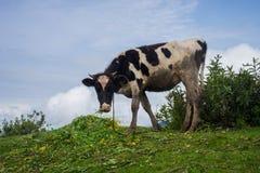 Vache dans les montagnes Images libres de droits
