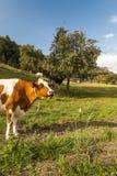Vache dans les prés suisses images stock