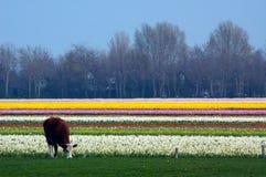Vache dans un domaine des fleurs Photos stock