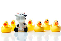 Vache dans un groupe de canards en caoutchouc jaunes Image stock