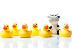 Vache dans un groupe de canards en caoutchouc jaunes Photos libres de droits
