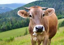 Vache dans un pâturage dans les montagnes, portrait d'une vache photo libre de droits