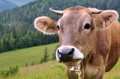 Vache dans un pâturage, portrait d'une vache image libre de droits
