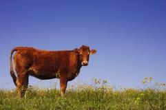 Vache dans un pré Photo stock