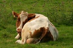 Vache dans un pré Image stock