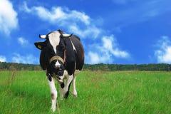 Vache dans un pré Photos stock