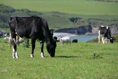 Vache dans une consommation de zone Photos libres de droits