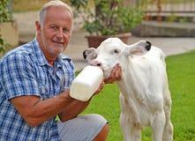 Vache de alimentation images libres de droits