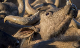 Vache de Buffalo de cap regardant  Photographie stock