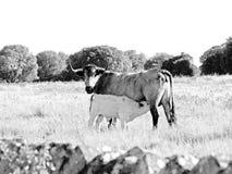 Vache de course de morucha avec son veau sur noir et blanc images stock