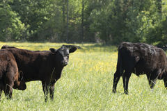 Vache de regarder Images stock