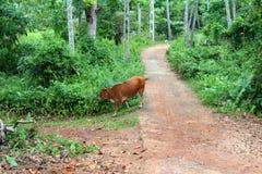 Vache de Sri Lanka images libres de droits