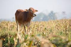 Vache debout Images libres de droits