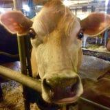 Vache della mucca del Jersey Fotografia Stock Libera da Diritti