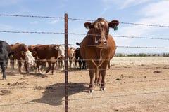Vache derrière la barrière photo libre de droits