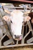 Vache derrière une rubrique de description Photographie stock