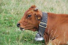 Vache des alpes Zdjęcia Stock
