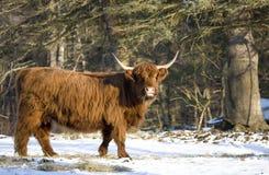 Vache des montagnes écossaise Photo libre de droits